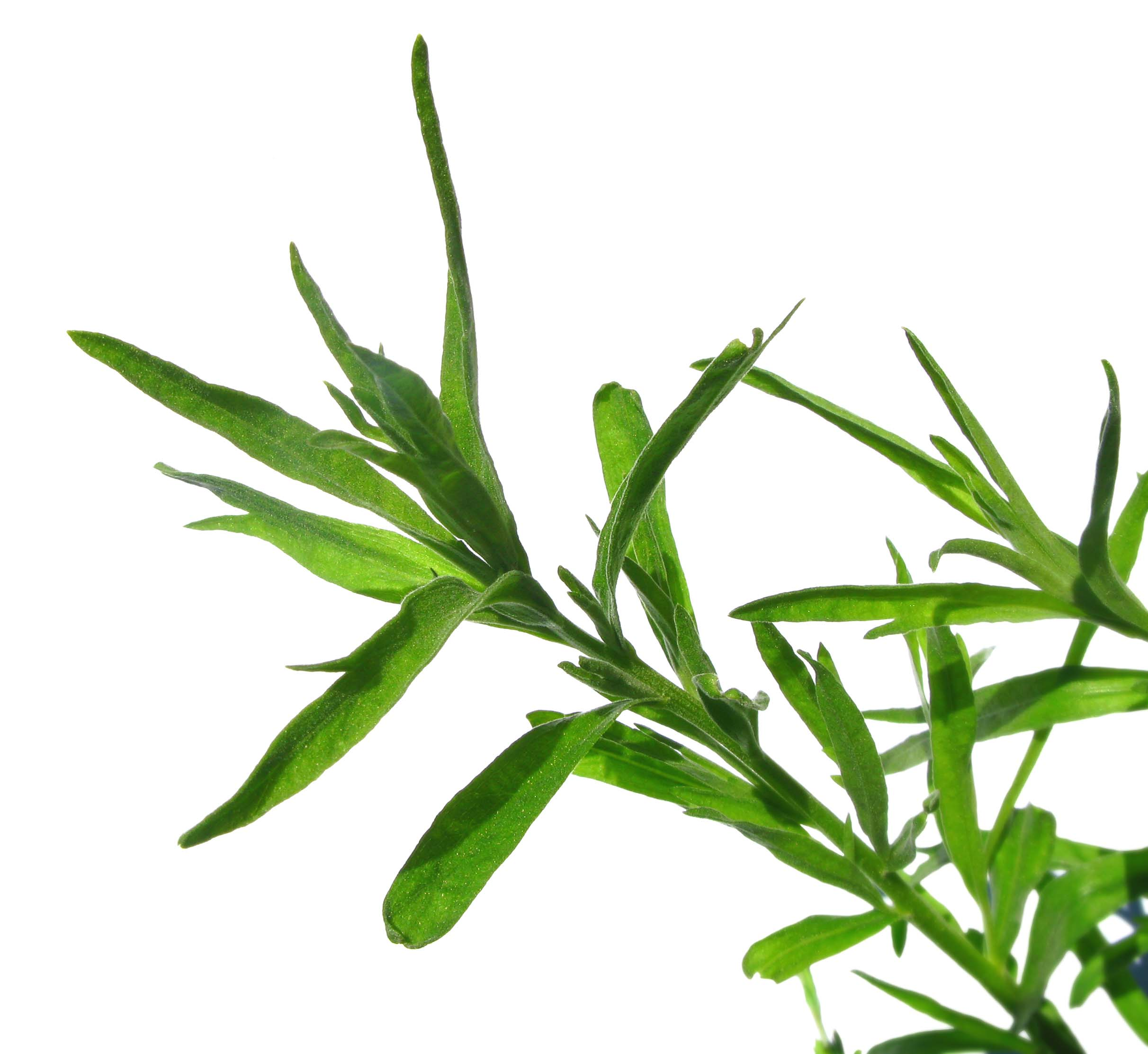 What Foods Can Tarragon Be Used In